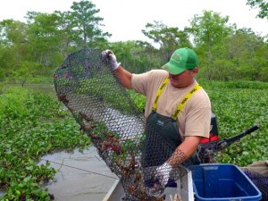 Jody Meche dumps crawfish trap