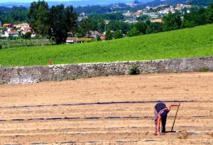 Aveleda replanting
