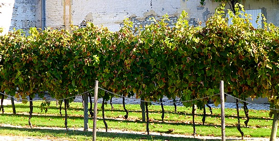 Cognac grape vines
