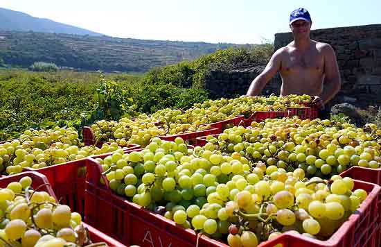 Bringing in the harvest of Zibibbo grapes on Pantelleria