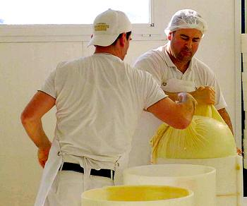 Fresh curd begins its transformation into Parmigiano Reggiano
