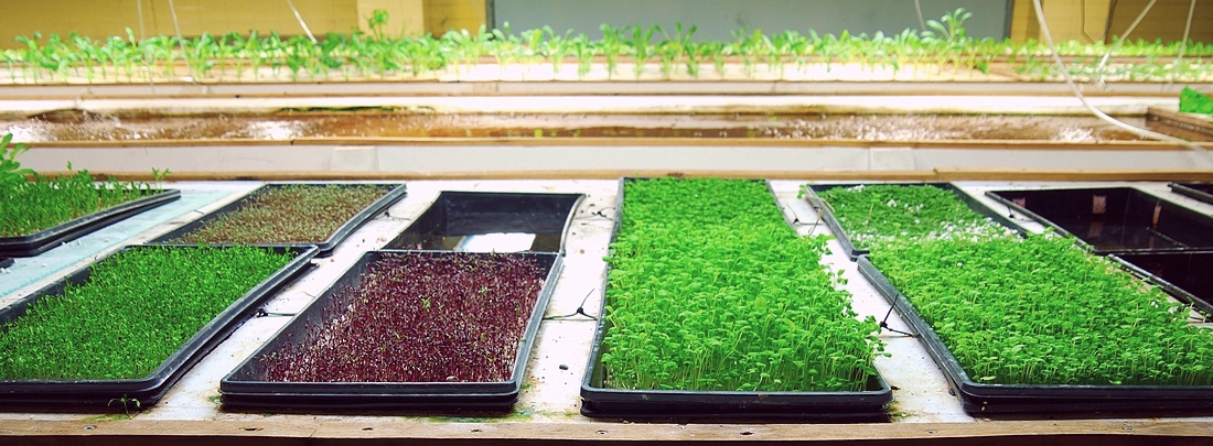 microgreens growing at FoodChain in Lexington