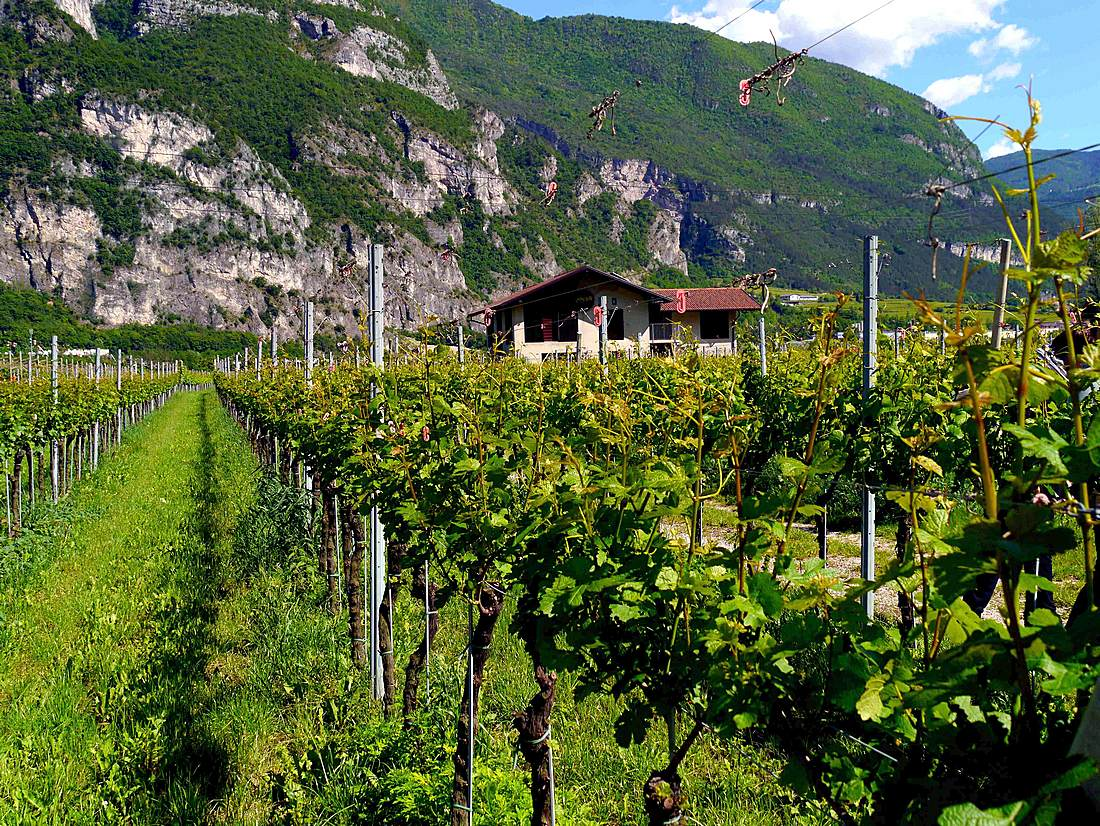 Grigoletti vineyards in Nomi, Italy