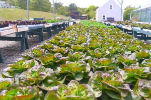 lettuce grows at Chatham Bars Inn Farm