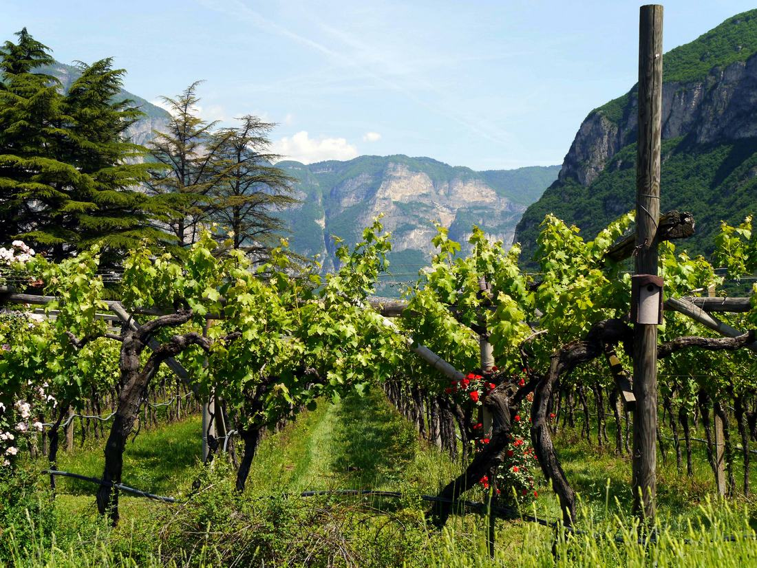 Endrizzi vineyards in San Michele