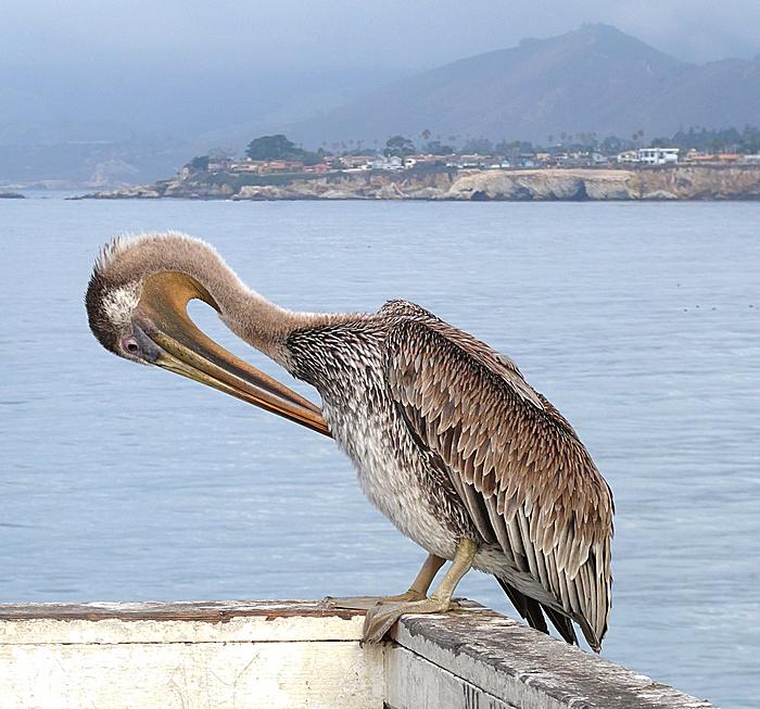 Pelican preens on Pismo Beach pier