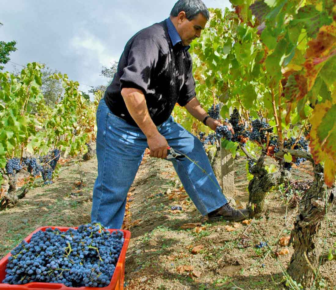 Harvesting Cannonau in Sardinia