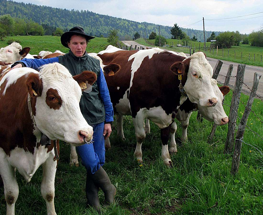Jean-François Marmier with his herd of 60 Montbèliarde cows