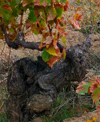 100 year old Cannonau vine in Mamoiada