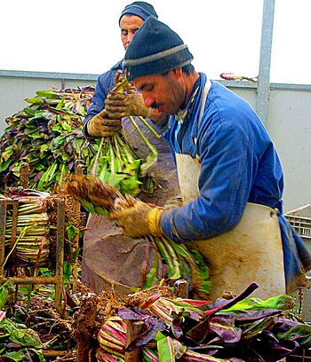 Workers at the Tenuta al Parco farm trim Treviso radicchio