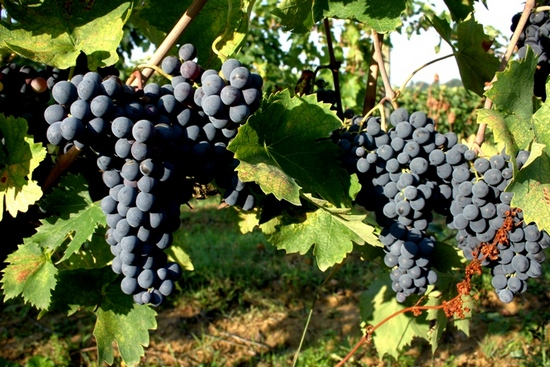 Sangiovese grapes in Montepulciano in Tuscany