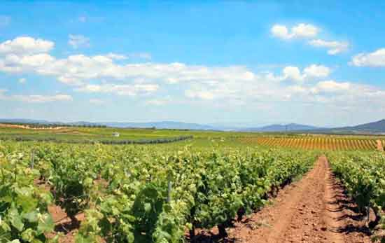 Vineyards in Utiel Requena