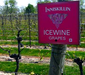 Inniskillin icewine vineyard in Niagara