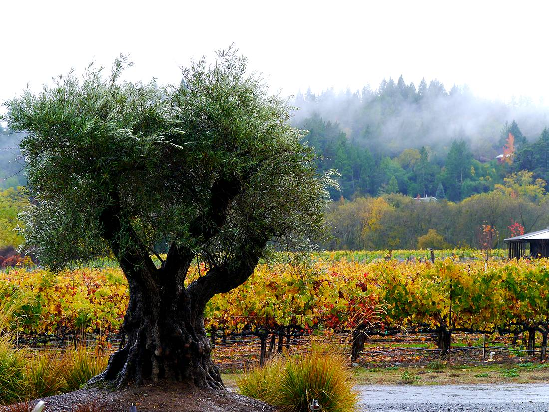 Vineyards and olive near Healdsburg