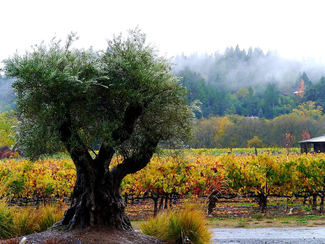 Vineyards and olive near Healdsburg